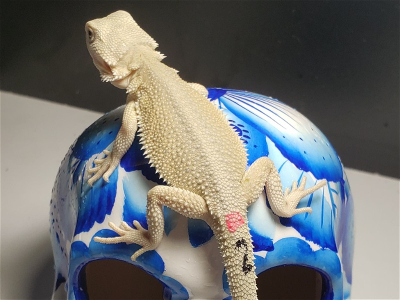 REPTILE CLASSIFIEDS - Hypo Witblits Bearded Dragons