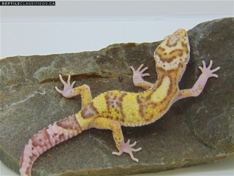 Leopard Geckos - Reptile Classifieds Canada