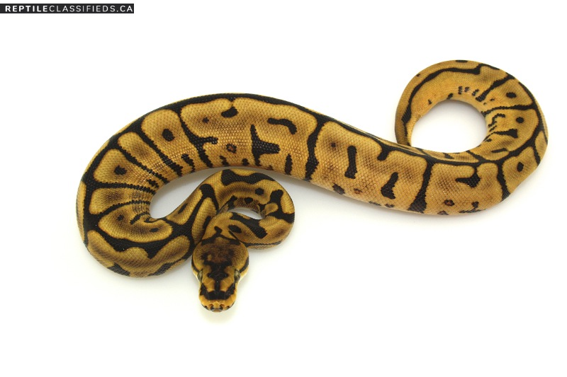 Leopard Yellowbelly Spider Female - Reptile Classifieds Canada