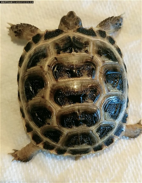Looking for a breeding pair Russian tortoise - Reptile Classifieds Canada