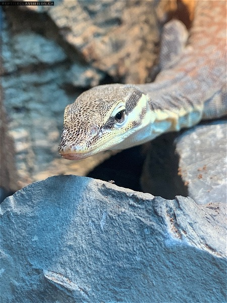 Looking for Dwarf Monitors  - Reptile Classifieds Canada