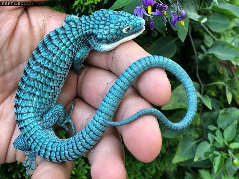 Looking for young captive bred Abronia Graminea - Reptile Classifieds Canada