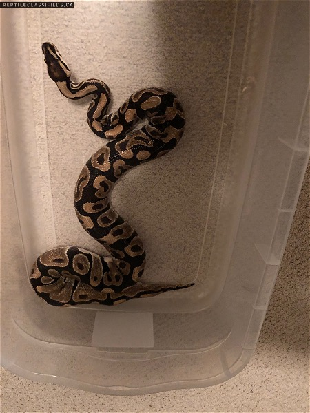 Male Normal Ball Python for sale