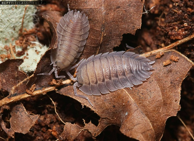 Several isopod species!