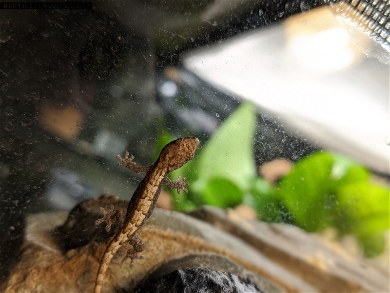 Mourning gecko hatchlings