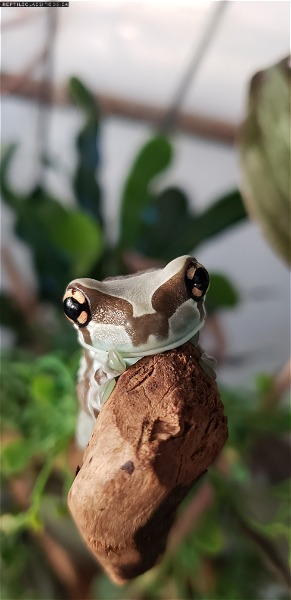 New in stock list at The Inspired Frog  - Reptile Classifieds Canada