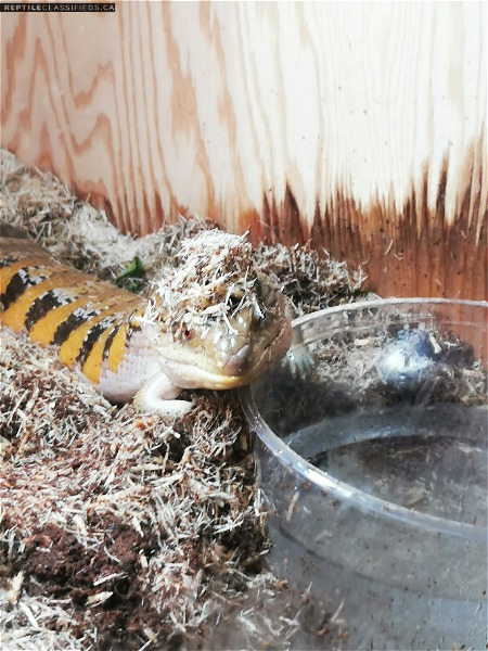 Northern Blue Tongue Skink Sunset X Swedish