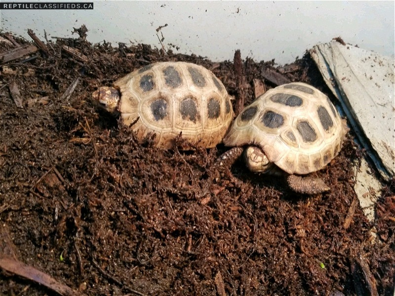 Pair of Elongated Tortoises
