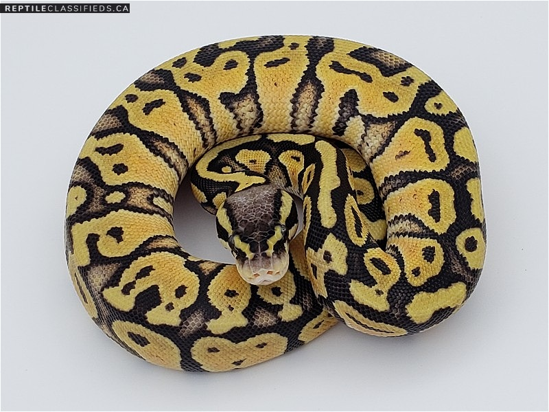 Pastel 66% Het Clown - Reptile Classifieds Canada