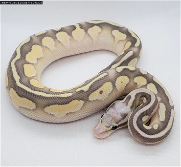 Pastel Lesser Fire Orange Ghost Desert Ghost Male