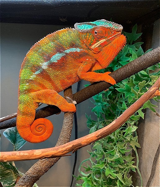 Quality Panther Chameleons Available Now!