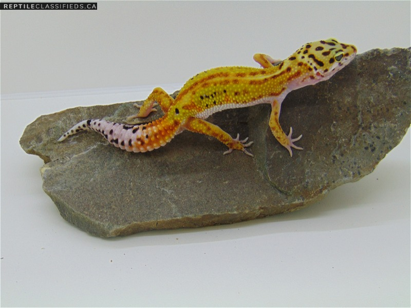 Red Stripe 50% het Rainwater - Reptile Classifieds Canada
