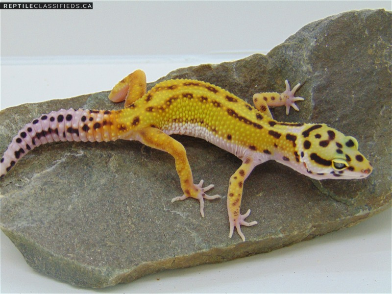 Red Stripe - Reptile Classifieds Canada