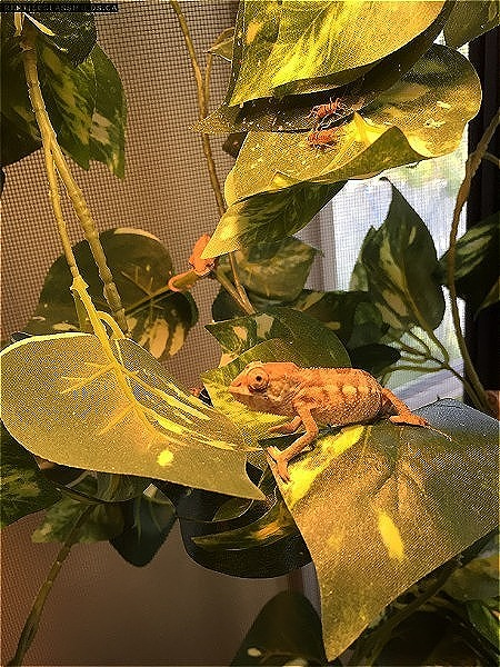 REDUCED PRICE - Baby Panther Chameleons for sale