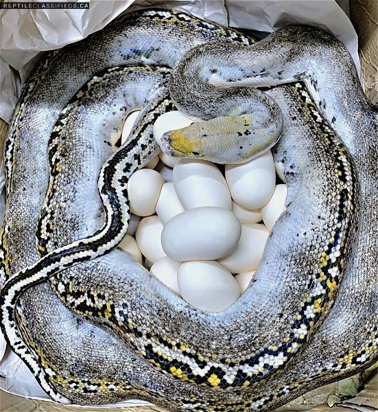 Reticualted Pythons