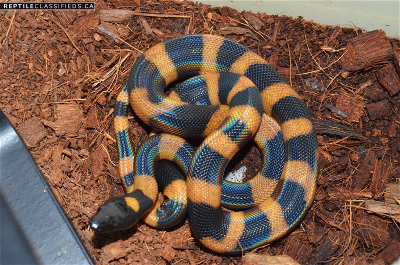 Ringed Pythons - Reptile Classifieds Canada