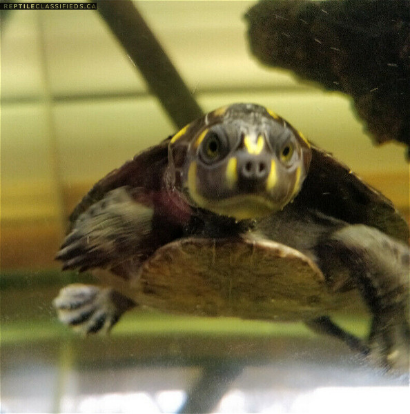 Selling Yellow Spotted River turtle