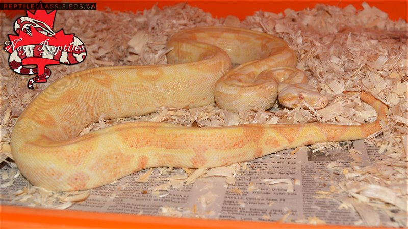 Sharp Sunglow Male - Reptile Classifieds Canada