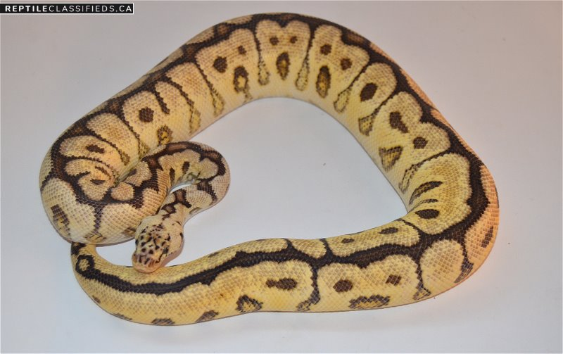 Spotnose Pastel Clown Male
