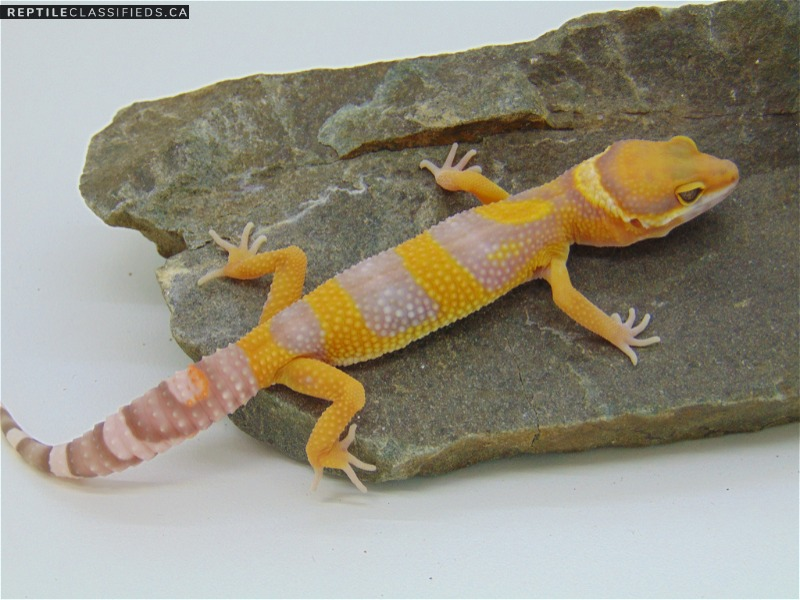 Sunglow - Reptile Classifieds Canada