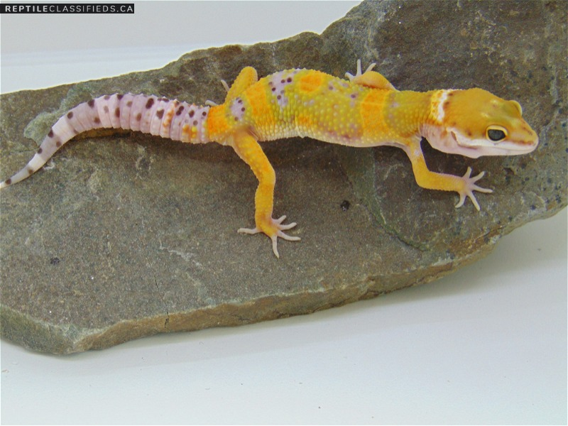 Sunglow Emerine - Reptile Classifieds Canada