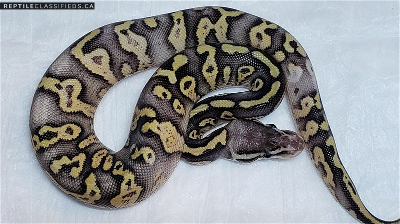 Super citrus pastel yellow belly white out - Reptile Classifieds Canada