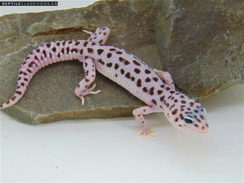 Super Snow het Tremper 50% het Eclipse - Reptile Classifieds Canada