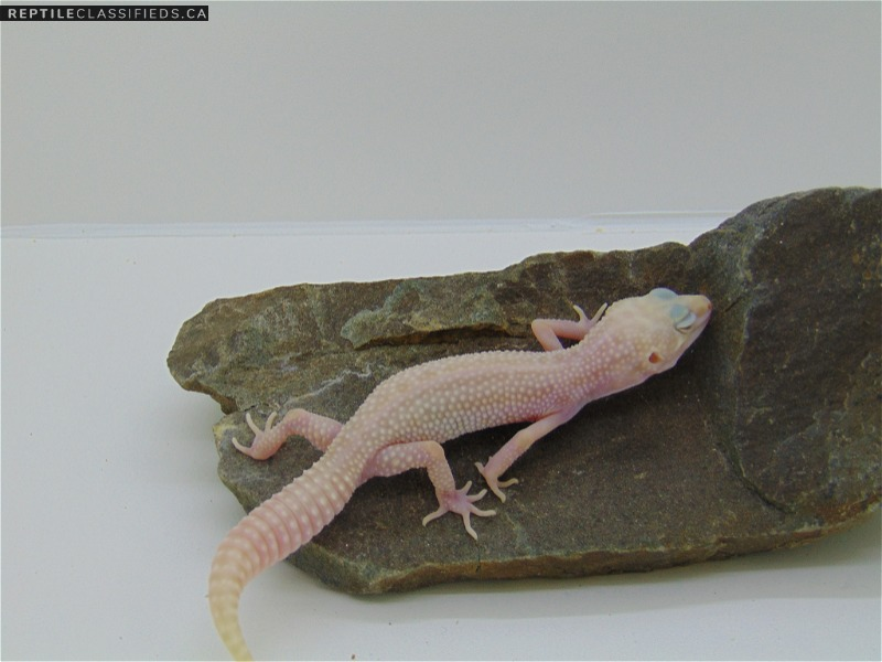 Super Snow Tremper 50% het Eclipse - Reptile Classifieds Canada