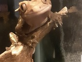 2 Crested Geckos