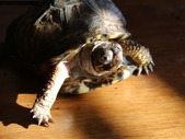 4 toed box turtle with enclosure