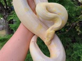 Large Breeder Male Albino Ball Python
