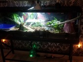Bioactive tank and ball python