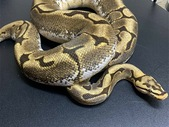 2015 Spider Yellowbelly Female