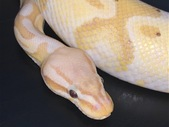 Ball python - Super pastel banana het orange ghost