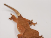 eyelash crested gecko - unsexed