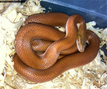 African House Snakes & Olive Snake for sale
