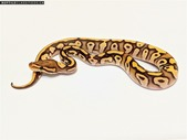 Ball Python Availability list, July 2020.