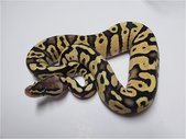 Ball Python current availability