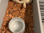 Ball Python Sale list