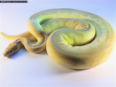 Ball pythons for sale younger and adults PB