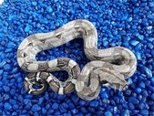 Boa Constrictor Morphs