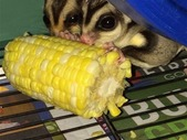Breeding pair of sugar gliders for sale!