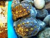 CB Ornate wood turtles