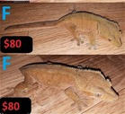 crested geckos for sale!