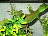 Green basilisks breeding pair, basiliscus plumifrons