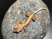 High end juvenile Crested Geckos available!
