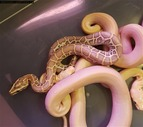 Ivory and Hypo Burmese
