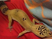 Leopard Gecko - $130, (In Powell River BC)