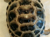 Looking for a breeding pair Russian tortoise