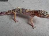 Male leopard gecko for sale!